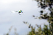 Southern Migrant Hawker (Aeshna affinis) In flight hunting in the bush in summer, Hill of the surroundings of Hyères, Var, France