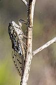 Grey cicada (Cicada orni) on a dry stem of asphodel at the beginning of summer, Massif des Maures, near Hyères, Var, France