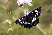 Southern White Admiral (Limenitis reducta) Posed open wings on a rockrose in summer, Hill of the Massif des Maures, near Hyères, Var, France