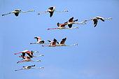 Flamingo (Phoenicopterus roseus) Group in flight on blue sky background in summer Peninsula of Giens, Hyères, Var, France