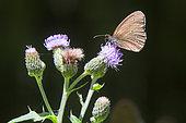 Tristan (Aphantopus hyperantus) sur une fleur de chardon en été, Clairière forestière environs de Mandres, Loraine, France