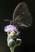 Araignée crabe thomise variable (Misumena vatia) A l'affût sur une fleur de chardon avec un papillon Tristan (Aphantopus hyperantus) en été, Clairière forestière environs de Mandres, Lorraine, France