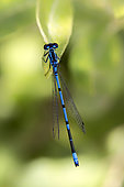 Azure damselfly (Coenagrion puella) Posed on the vegetation at the edge of a forest pond in summer, Etang Romé near Toul, Lorraine, France