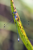Emerald damselfly (Lestes sponsa) Posed on the vegetation at the edge of a forest pond in summer, Etang Romé around Toul, Lorraine, France