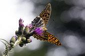 Tabac d'Espagne (Argynnis paphia) Posé ailes ouvertes sur une fleur de chardon en été, Clairière forestière environs de Toul, Lorraine, France