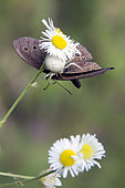 Goldenrod Spider (Misumena vatia) on a thistle flower with a butterfly Ringlet (Aphantopus hyperantus) in summer, forest clearing around Mandres, Lorraine, France