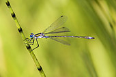 Emerald damselfly (Lestes sponsa) on the stem of an horsetail on the edge of a forest pond in summer, Etang Romé near Toul, Lorraine, France