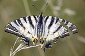 Southern swallowtail (Iphiclides podalirius) End of life with damaged wings in summer, Campagne, Lorraine, France