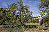 Mirabelle picking in a field orchard in summer, Faulx, Lorraine, France