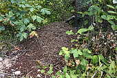 Anthill sheltering the Southern wood ant (Formica rufa) in an undergrowth at the edge of a forest path in summer, Massif des Vosges, France