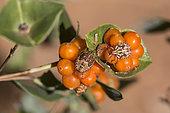 Juvenile bugs (Carpocoris sp) On honeysuckle berries in summer, Hills of the Maures massif, around Hyères, Var, France