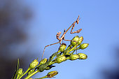 Conehead Mantis (Empusa pennata) larvae on a stem against a background of blue sky, Plaine des Maures, Mayons area, Var, France