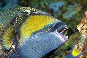 Giant triggerfish (Balistoides viridescens), animal portrait, Ari Atoll, Maldives, Asia