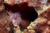 The Lauriea siagiani (Lauriea siagiani), lives on sponges (Xestospongia), Negros, Visayas, Philippines, Asia