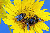 Carpenter Bee (Xylocopa violacea) on Wild sunflower (Helianthus annuus) in summer, Hérault, France