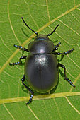 Bloody-nosed beetle (Timarcha tenebricosa) on leaf, Spring, Hérault, France