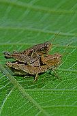 Short-horned Grasshopper (Pezotettix giornae) mating on leaf in autumn, Hérault, France