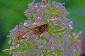 White-faced bush Cricket (Decticus albifrons) female on Soapwort (Saponaria officinalis) flowers, Hérault, France