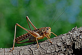 White-faced bush Cricket (Decticus albifrons) female on a branch, Hérault, France
