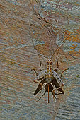 Cricket (Gryllomorpha dalmatina) on a stone in summer, Les Aires, Hérault, France