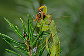 Praying Mantis (Mantis religiosa) eating a Paper Wasp (Polistes sp) on Rosemary in Summer, Catalonia, Spain
