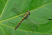 Handsome Clubtail (Gomphus forcipatus) on fig (Ficus carica) leaf in summer, Hérault, France