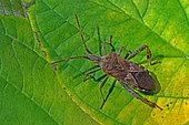 Western conifer seed bug (Leptoglossus occidentalis) on leaf, Invasive species, Auvergne, France