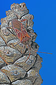 Western conifer seed bug (Leptoglossus occidentalis) on pine cone, Invasive species, Auvergne, France