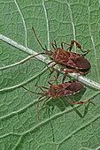 Western conifer seed bugs (Leptoglossus occidentalis) on leaf, Invasive species, Auvergne, France