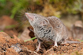 Greater White-toothed Shrew (Crocidura russula), Bouxières aux dames, Lorraine, France