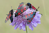 Six-spot Burnet (Zygaena fillipendulae) on flower, Allamps, Lorraine, France
