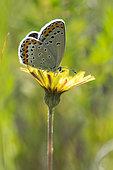 Reverdin's Blue (Plebejus argyrognomon) on flower, Lorry-Mardigny, Lorraine, France
