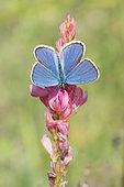 Reverdin's Blue (Plebejus argyrognomon) on host plant, Sainfoin (Onobrychis viciifolia), Lorry-Mardigny, Lorraine, France
