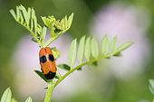Leaf Beetle (Clytra laeviuscula), Lorraine, France