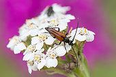 Flower longhorn beetle (Stenurella melanura) male on Milfoil (Achillea millefolium) flower, Lorraine, France