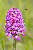 Marmalade Hover-fly (Episyrphus balteatus) approaching in flight of a Pyramidal Orchid (Anacamptis pyramidalis) in bloom, Lorraine, France