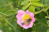 Honeybee (Apis mellifera) on a wild flower of Dog Rose (Rosa canina), Lorraine, France