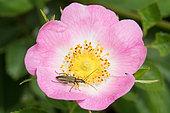Thick-legged Flower Beetle (Oedemera nobilis) female on a wild flower of Dog Rose (Rosa canina), Lorraine, France