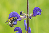 Brown Bumblebee (Bombus pascuorum) on Meadow Clary (Salvia pratensis) flower, France