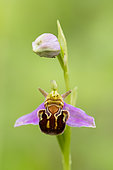 Ophrys bee flower (Ophrys apifera), Lorry-Mardigny, Moselle, France
