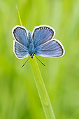 Reverdin's Blue (Plebejus argyrognomon) on a blade of grass, France