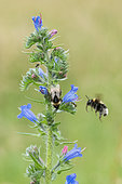 Bumblebee (Bombus sp) in flight arriving on a Vipersbugloss (Echium sp) flower, plateau of Bouxieres aux Dames, Lorraine, France