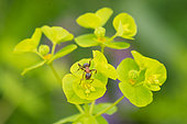 European Red Wood Ant (Formica polyctena) on Cypress spurge (Euphorbia cyparissias) flower, Plateau of Bouxieres aux Dames, Lorraine, France