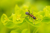 European Red Wood Ant (Formica polyctena) on Cypress spurge (Euphorbia cyparissias), France