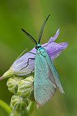 Turquoise (Jordanita sp) mâle sur fleur, Plateau de Bouxières aux Dames, Lorraine, France