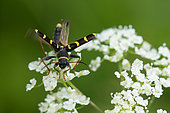 Envol du Clyte bélier (Clytus arietis) sur fleur de Cerfeuil (Anthriscus sp), France