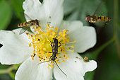 Lepture à 6 taches (Anoplodera sexguttata) sur fleur d'Eglantier (Rosa canina) et Syrphes ceinturés (Episyrphus balteatus), Plateau de Bouxieres aux Dames, Lorraine, France