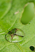 Thistle Tortoise Beetle (Cassida rubiginosa) mating on leaf, Lorraine, France