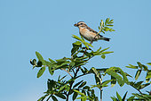 Whinchat (Saxicola rubetra) with prey on a branch, Hautes chaumes vosgiennes, France