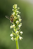 Hover-fly on Small white orchid (Pseudorchis albida) flower, Hight Vosgean Stubble, France